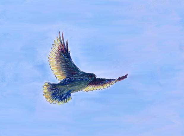 8.30.16_Hawk in sky_620w