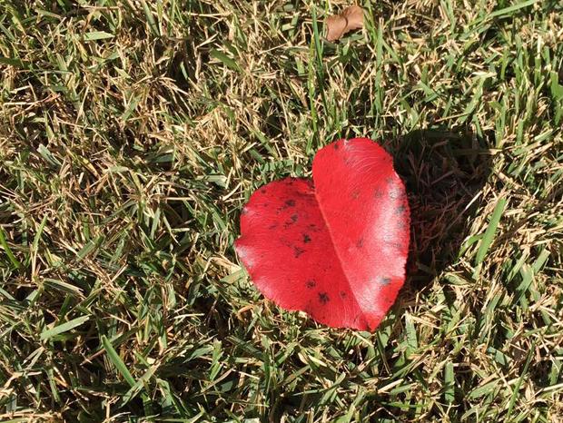 heart-leaf_620w